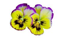 Съедобные цветы сублимированные и сушеные оптом, Suppa Kharnas Овощторг